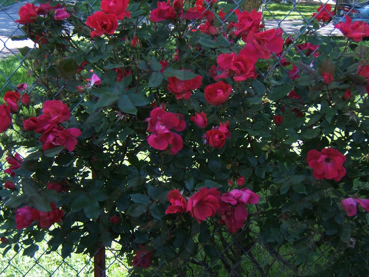 Red roses growing on a chain link fence. Wallpaper backdrop background flower plant photo