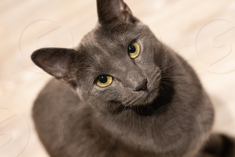 Russian blue cat intensly gazing into your eyes photo