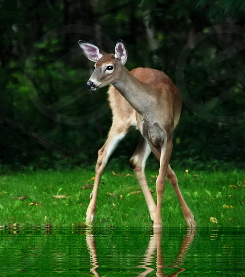 Deer...First steps...young Fawn photo