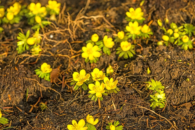 winter aconite Eranthis hiemalis spring flower in Germany photo