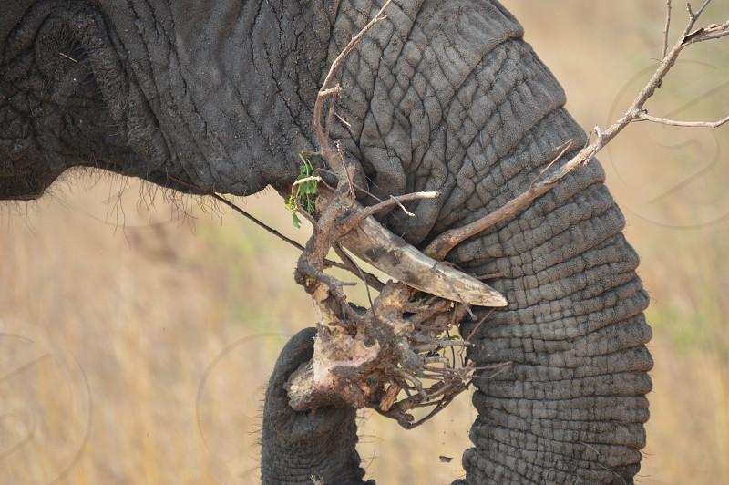 Elephant eating photo