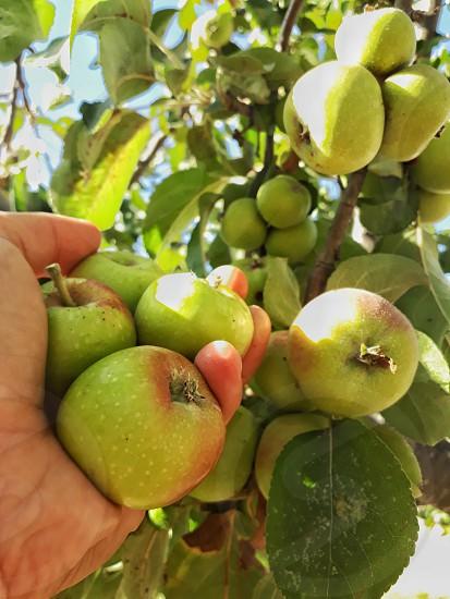 picking apples photo