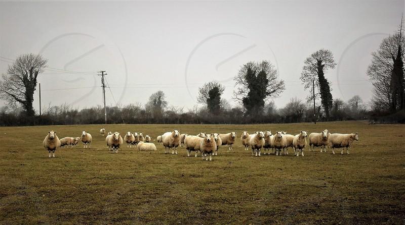 sheep livestock photo
