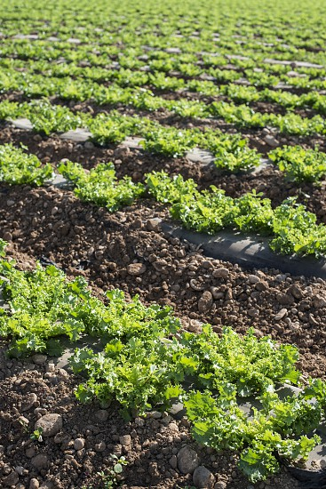 Lettuce field in rows. Sunny day photo