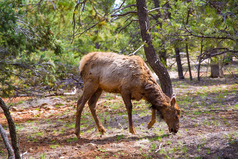 Elk Deer grazing in Arizona Grand Canyon National Park USA photo