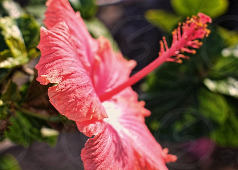 Close-up image of coral colored hibiscus flower photo