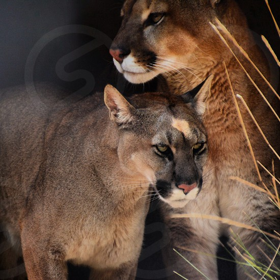Peru Wildlife wild animals fierce stare texture puma lion jaguar animals in nature natural habitat mother and son animal beauty  photo