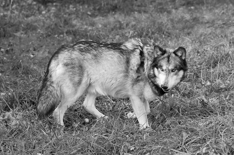 A black and white version of a wolf starting to snarl photo
