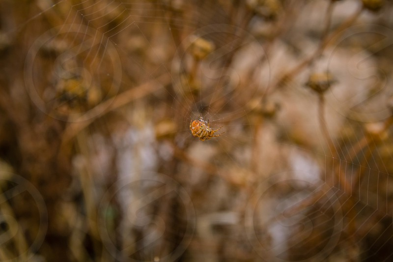 Close up on orange spider sitting in the middle of the spiderweb with brown background. photo