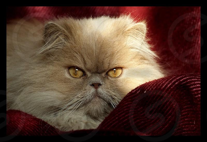 persian breed cat  photo