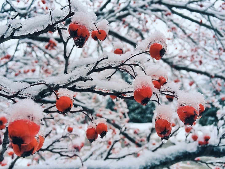 snow covered trees with red round shaped fruit photo