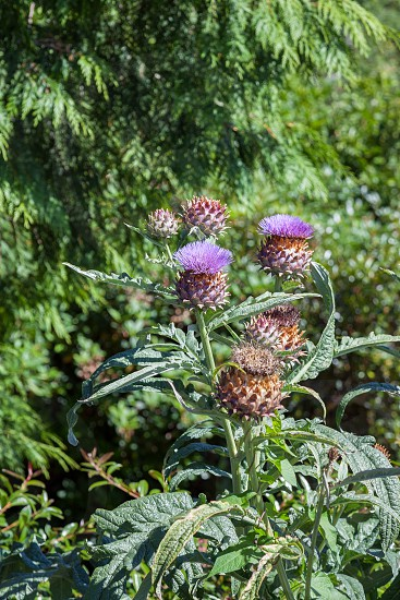 Thistle flowering on a summer's day in New Zealand photo