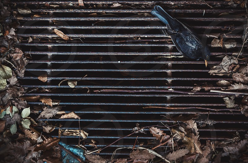Closeup view of dead magpie on dirty grid.  photo