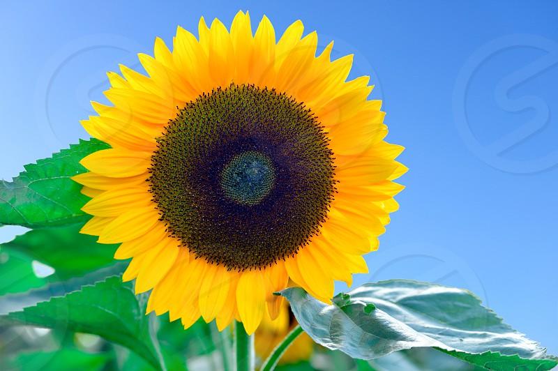Sunflower isolated cutout blue sky flower plant yellow black green summer sun box leaf leaves photo