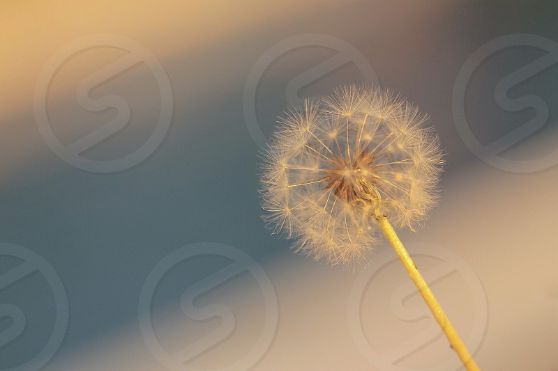 white dandelion photo