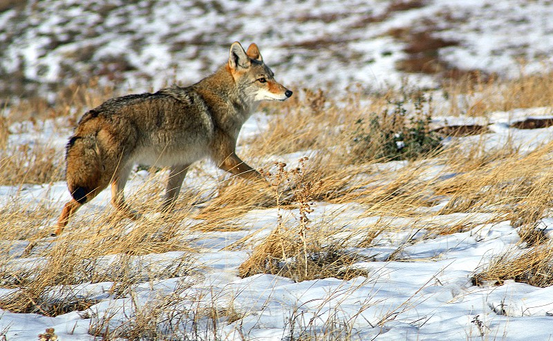 A coyote runs through a snowy field. photo