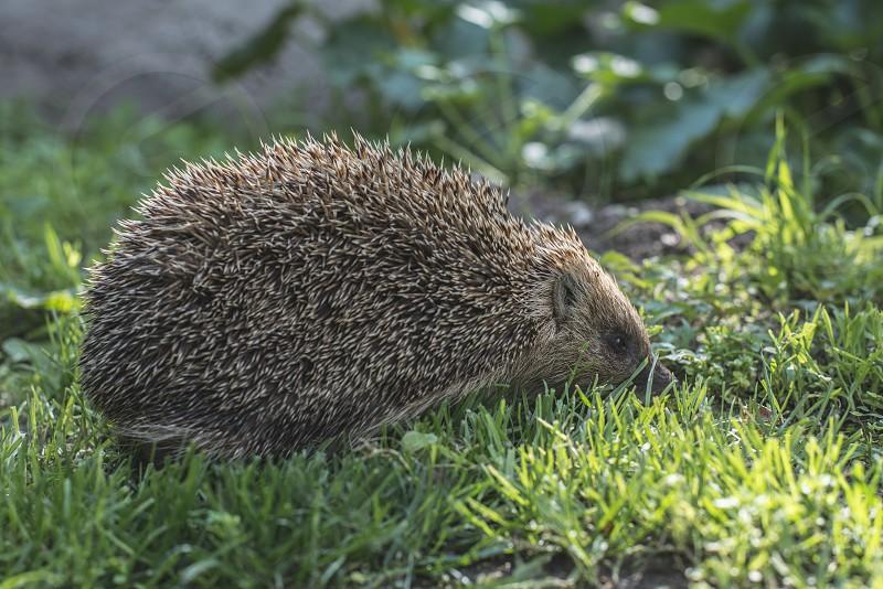 Hedgehog on green grass photo