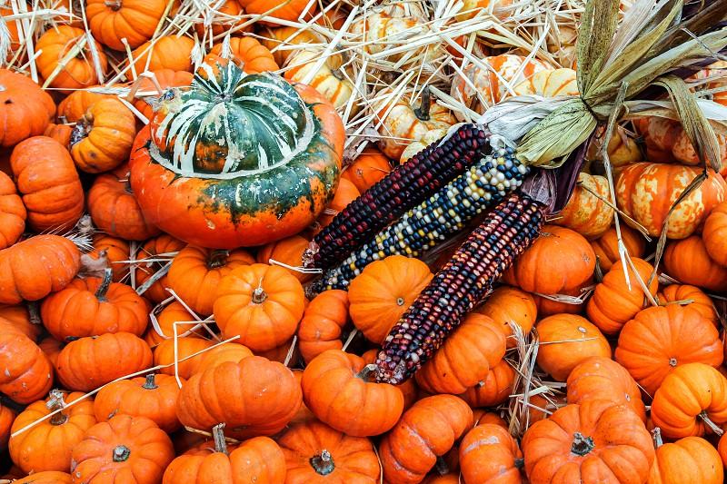Pumpkins with corn photo