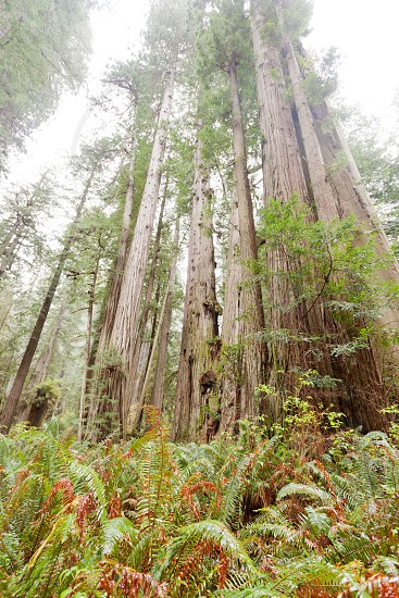 Stand of giant Redwood tress Sequoia sempervirens groove growing in coastal forest of Redwood National and State Parks Northern California CA USA photo