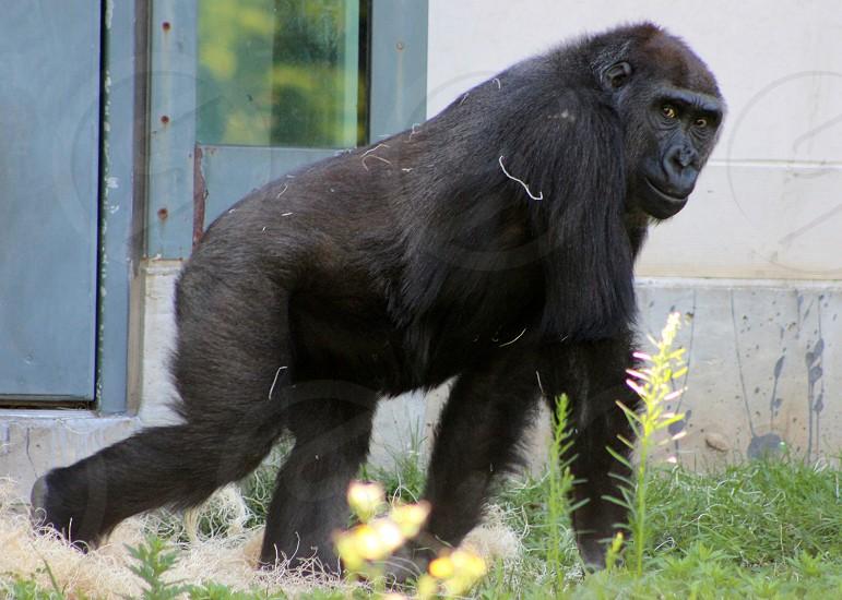 Gorilla at Lincoln Park Zoo Chicago  photo