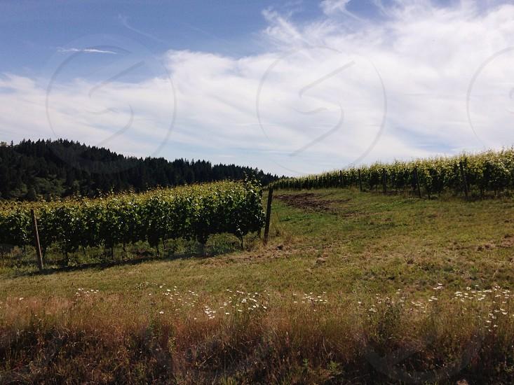 green vineyard photo