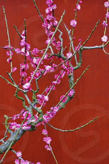 Flower blossom bloom prunus plum ume Japanese pink spring branch photo