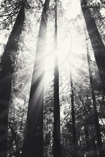 tall trees on a sunlight view photo