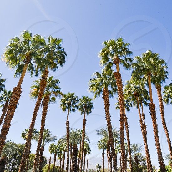 palms palm trees california desert palm springs rancho mirage sun photo