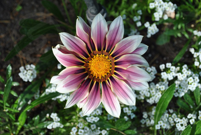 purple-and-white petaled flower photo