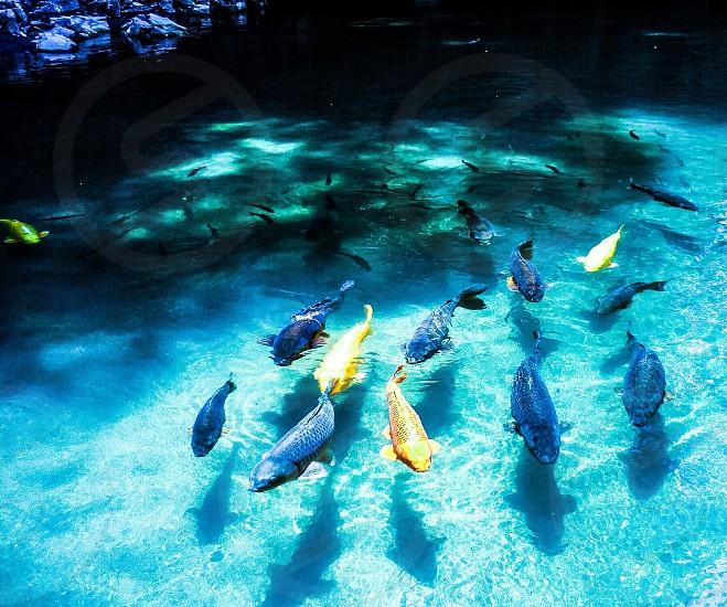 school of fish on blue fresh water photo