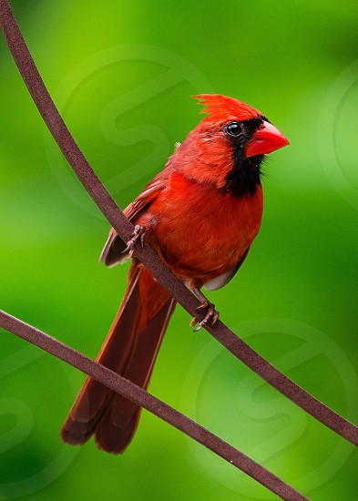 macro photography of cardinal bird on brown branch during daytime photo
