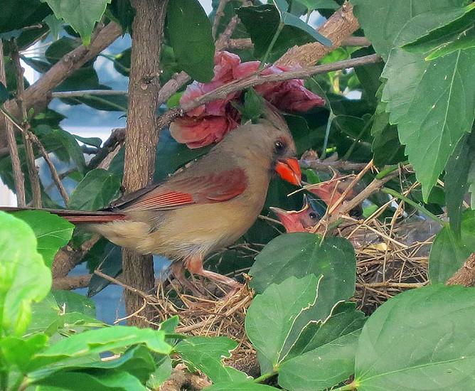 Female cardinal feeding babies in nest photo