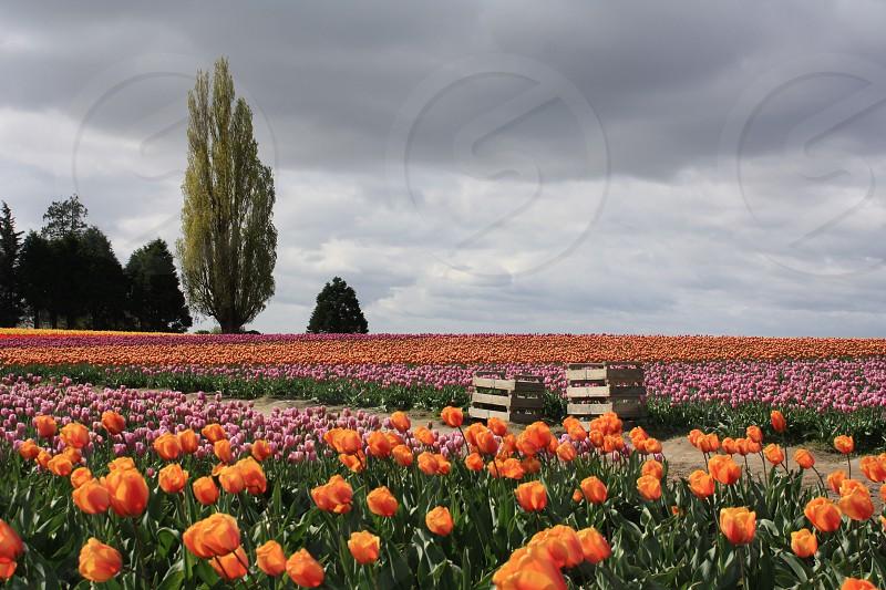 Tulip fields Mount Vernon WA photo