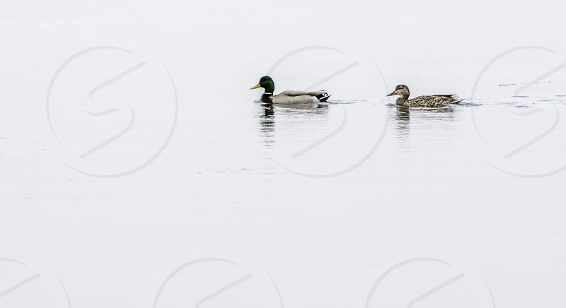 male and female mallard duck swimming on body of water during daytime photo
