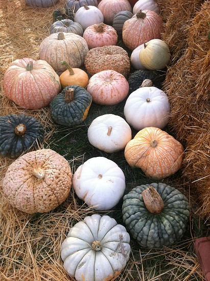 One-Too-Many (RedEye) Frankenstein and Ghostly White Pumpkins from a Native American ranch in Colorado photo