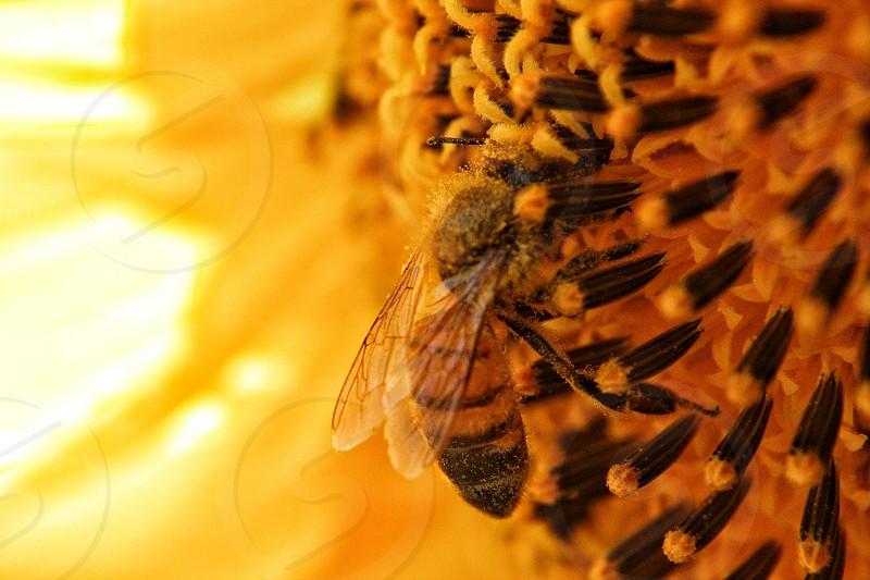 macro bee pollen sunflower photo
