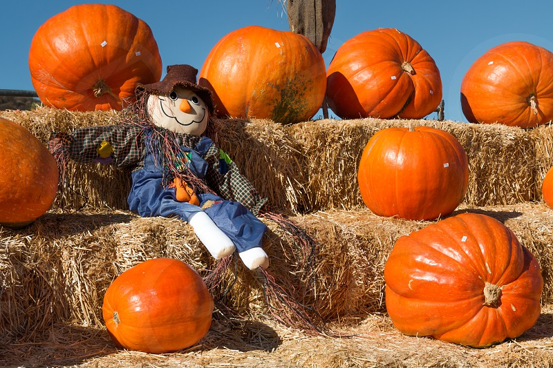 A scarecrow on hay bales surrounded by pumpkins.  photo