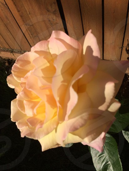 Full rose in bloom photo