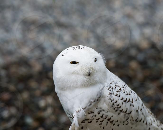 Snow Owl - Tongass Rain Forest Alaska photo