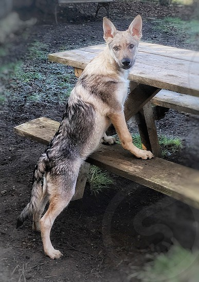 short-coat black and brown dog beside brown wooden picnic table photo