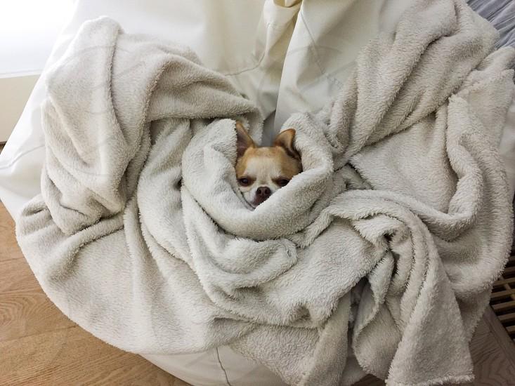 Morning evening chi chuhuahua blanket white beige tan sleep photo