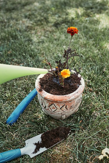 Replanting plant into a new pot. Watering planted flower. Using tools rake and shovel. Real people authentic situations photo