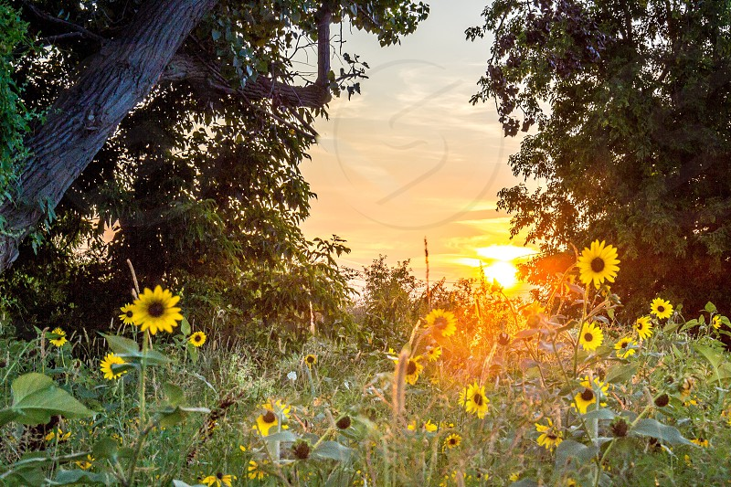 Sunflower sunset photo