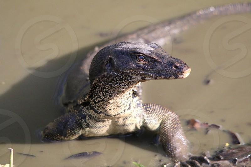 Monitor Lizard cooling down at Kota Kinabalu Borneo photo