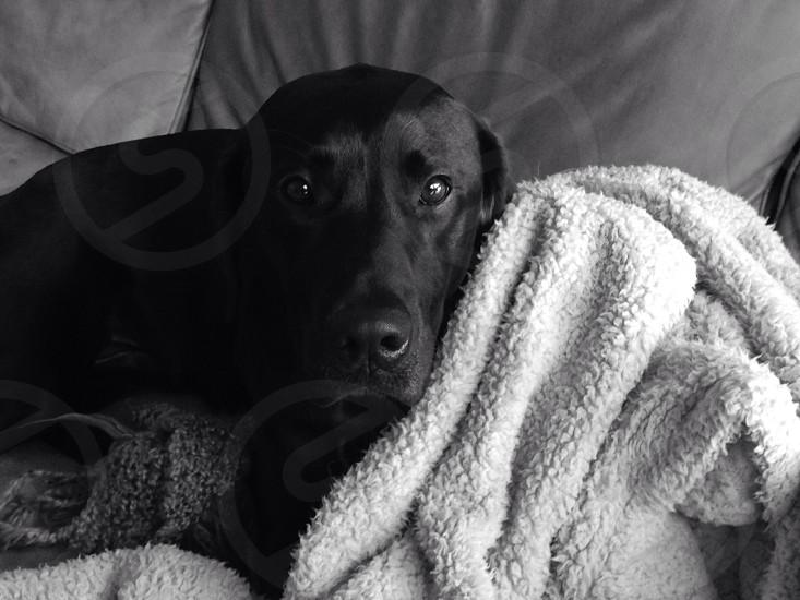 Black lab lazy sweet dog photo