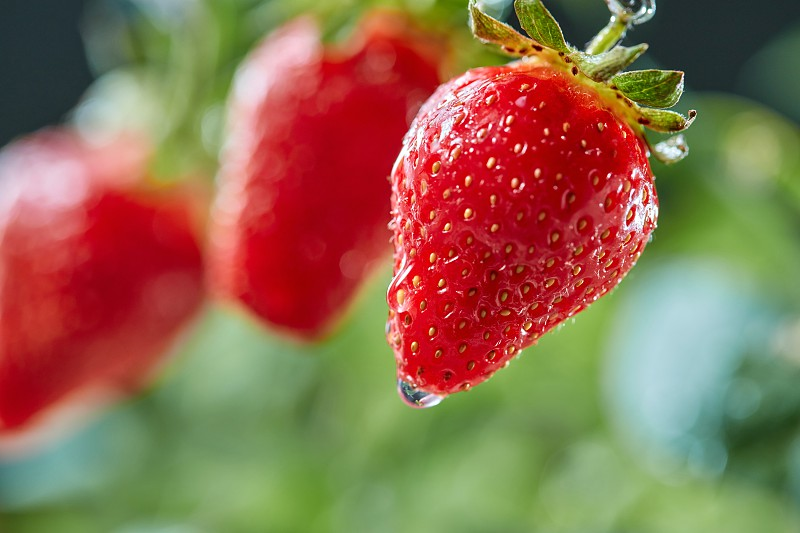 Closeup of green stem with juicy strawberries with water drops in a farm garden. Organic vitamin berry photo