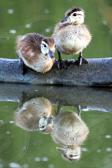 Wood ducklings reflection photo