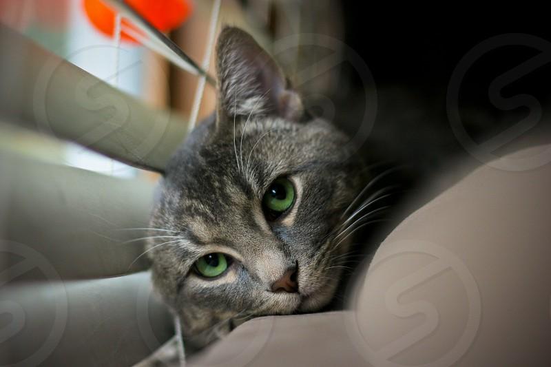 short-fur gray cat beside white window blinds photo