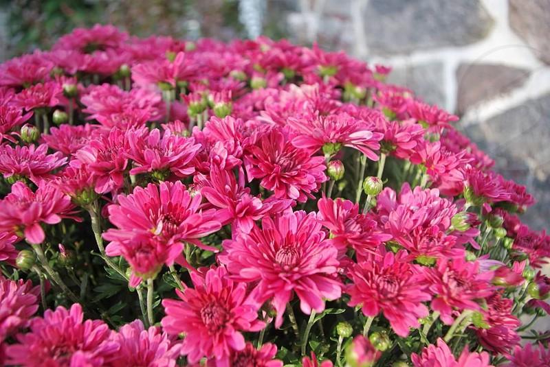 Pink chrysentems photo