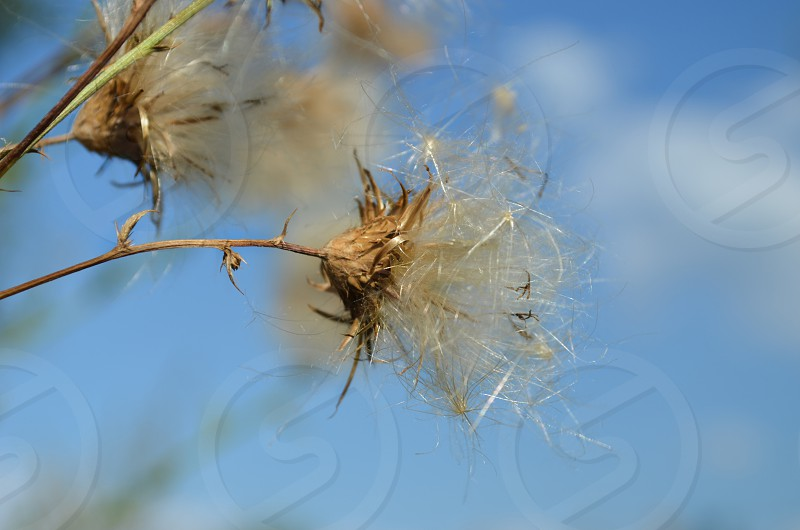 blue sky thistle dried clouds photo